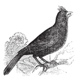 Cardinal of Virginia engraving vector image