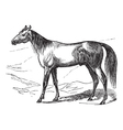 Arabian Horse vintage engraving vector image