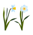 daffodils with open blue buds and long green stem vector image