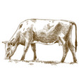 engraving of cow vector image