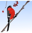 The one bullfinch vector image vector image