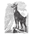 Chamois vintage engraving vector image vector image