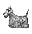 scottish terrier side view vector image
