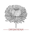 chrysanthemum in hand drawn style vector image