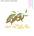 Tamarind Pods with Vitamin B1 B2 B3 and Minerals vector image