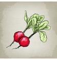 Fresh radishes vector image