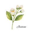 watercolor jasmine isolated on a white background vector image