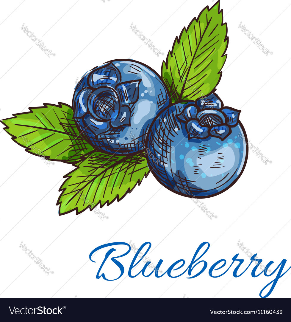 Blueberry fruits with leaves isolated sketch vector