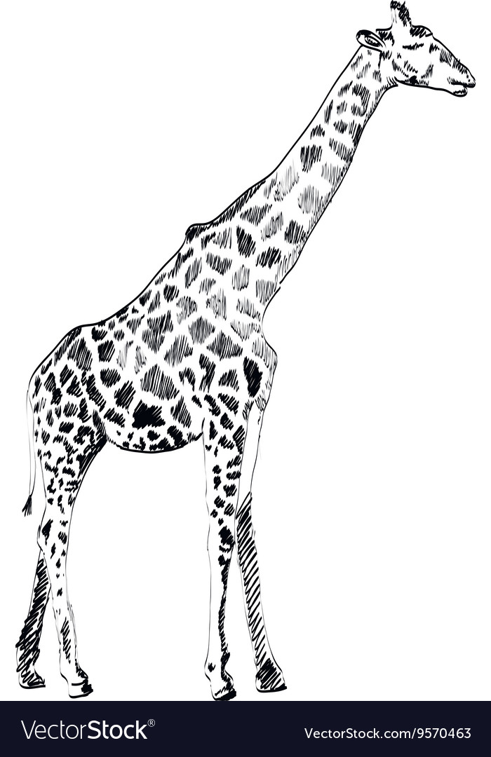Hand drawn of giraffe on white vector