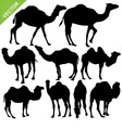 Camels silhouettes vector image vector image