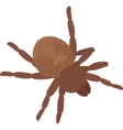 Big brown fluffy spider Tarantula isolated on vector image