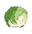 hand drawn green lettuce vector image