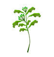 A Fresh Clove Plant on White Background vector image vector image
