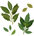 twig fresh bay leaf herb isolated set vector image