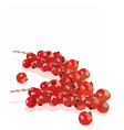 Watercolor cranberry branch on white vector image