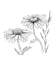 Camomile hand drawn flowers vector image