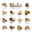 nuts nutshell of hazelnut almond and walnut vector image