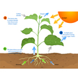 Photosynthesis vector image vector image