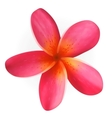 Pink Plumeria flower isolated on white vector image