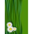 Chamomile daisy flowers vector image