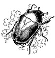 rose chafer vector image vector image