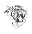 angry tiger is growling vector image