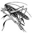 tettigoniidae vector image vector image