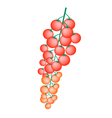 Fresh Red Cherry Tomatoes on A Branch vector image vector image