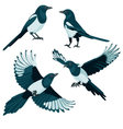 Magpies on white background vector image