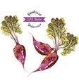 Organic beetroot watercolor vector image vector image
