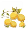 Fresh lemon branch with leaves vector image