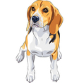 sketch dog Beagle breed sitting vector image