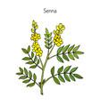 alexandrian senna plant vector image