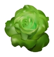 green rose vector image