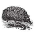 Echidna vintage engraving vector image