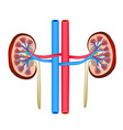 structure of kidneys on isolated background vector image