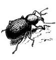 curculionidae vector image vector image