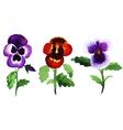 pansies vector image