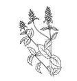 doodle mint herbs-drawn outline vector image