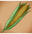 engraving corn retro vector image vector image