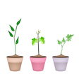 Three Green Eggplant Tree in Ceramic Pots vector image