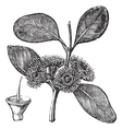 Mallee vintage engraving vector image