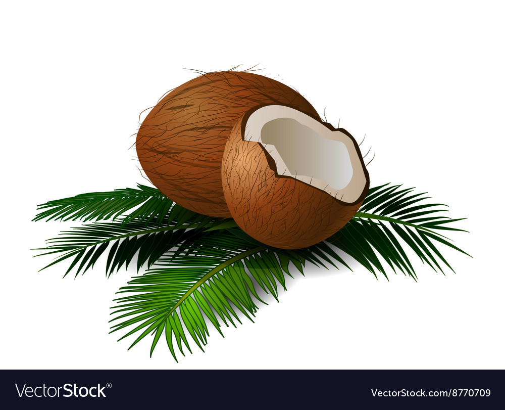 Coconuts with leaves vector