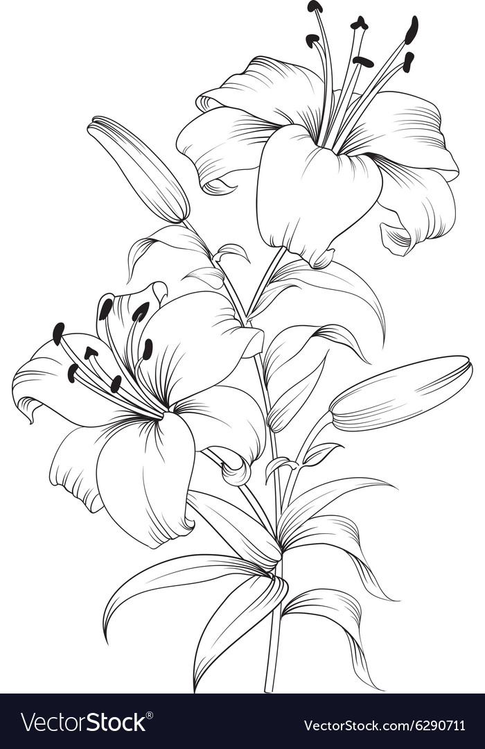 Blooming lily flower vector
