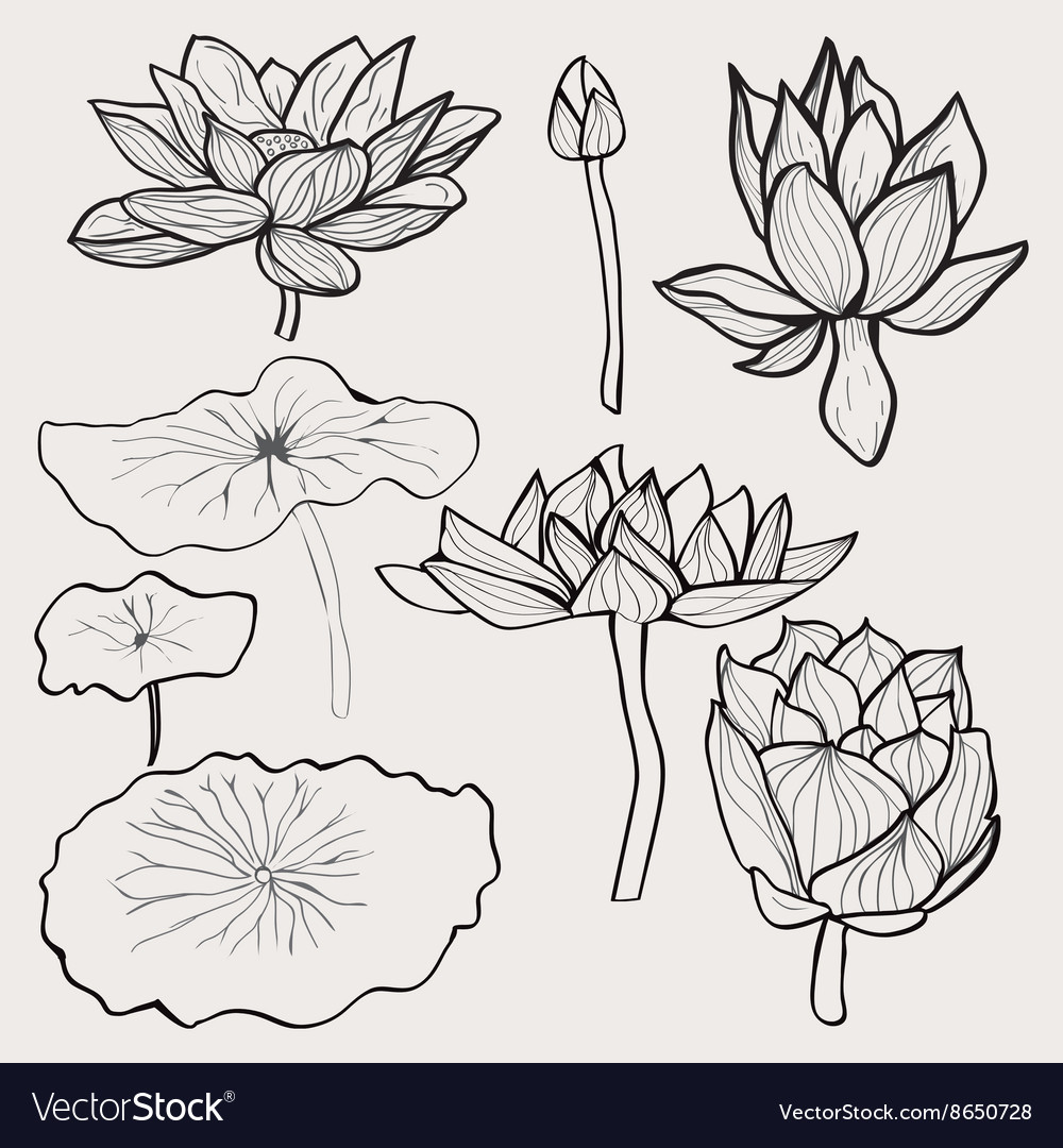 Set of beautiful monochrome hand drawn lotus vector