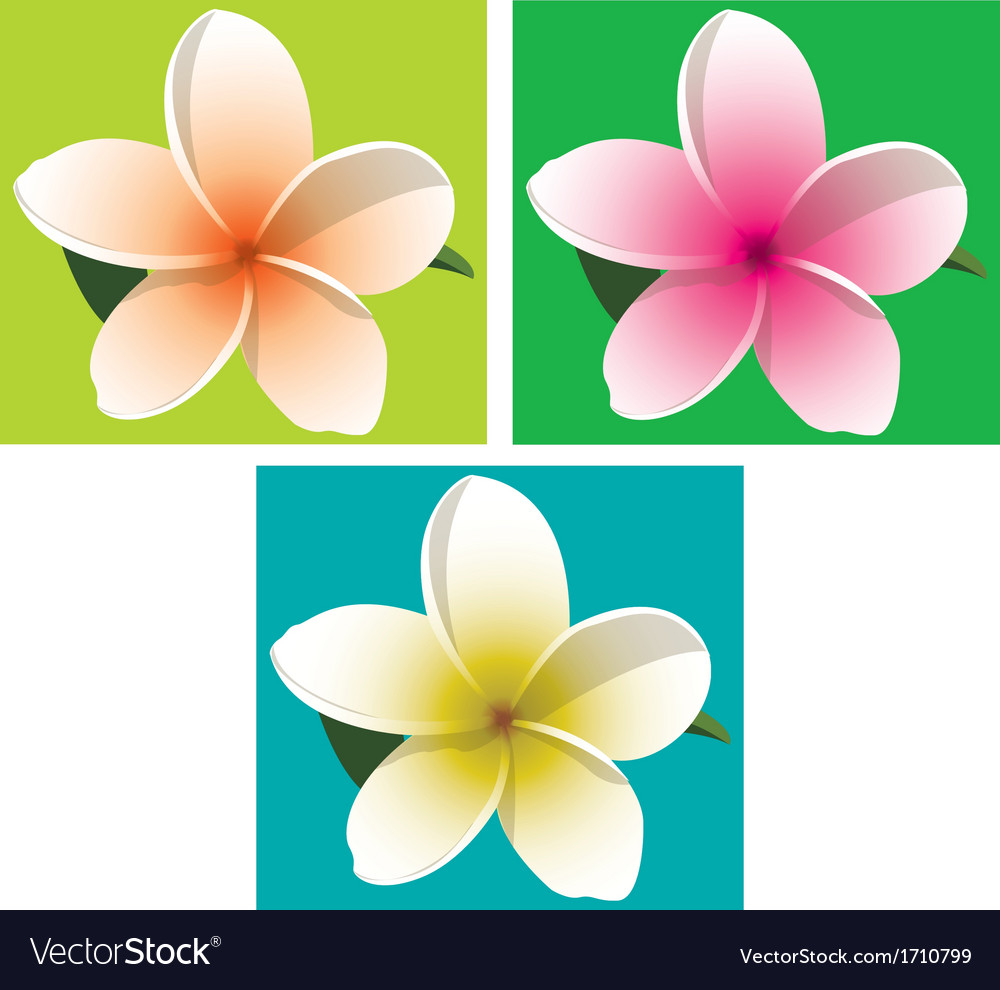 Orange pink and yellow frangipani on coloured vector