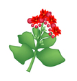 Red Kalanchoe Blossfeldiana or Flaming Katy Flower vector image