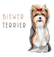 Funny biewer yorkshire terrier dog sitting vector image