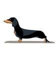 dachshund minimalist image vector image