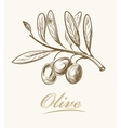fresh olive vector image vector image